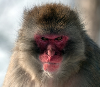 Angry Customer Snow Monkey